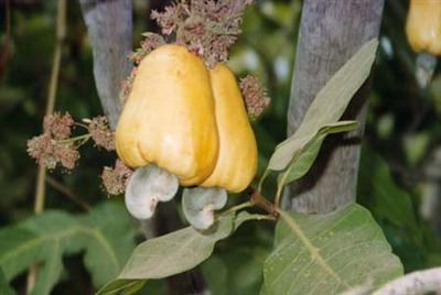 Gui1_cashewfruit2 (Custom).jpg